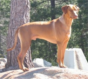 How to Train a Rhodesian Ridgeback