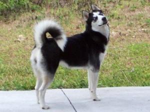 How to Train a Siberian Husky
