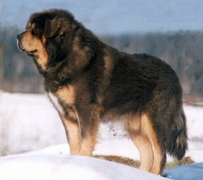 How to Train a Tibetan Mastiff