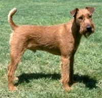 How-to-Train-an-Irish-Terrier