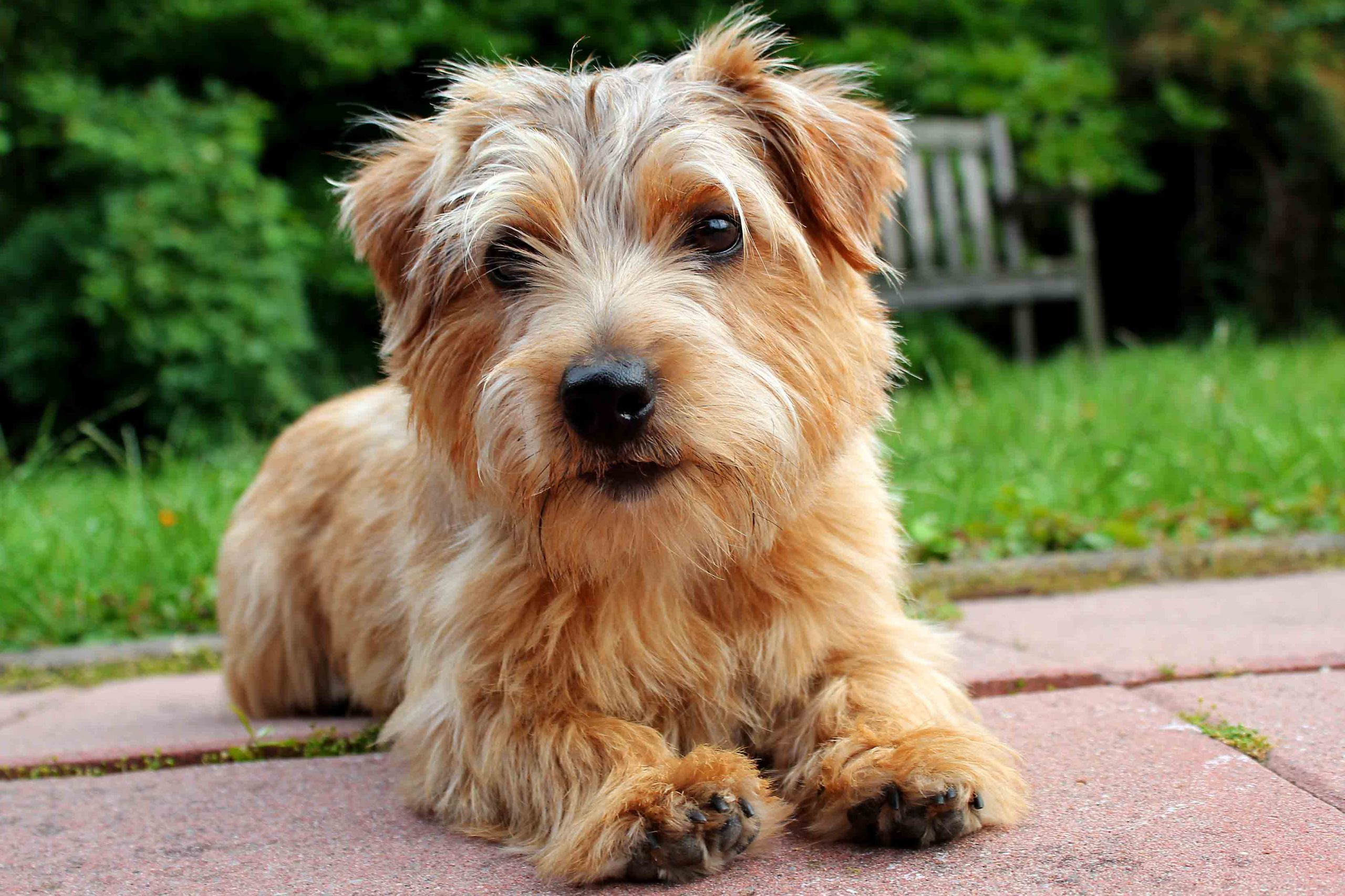 How to Train a Norfolk Terrier