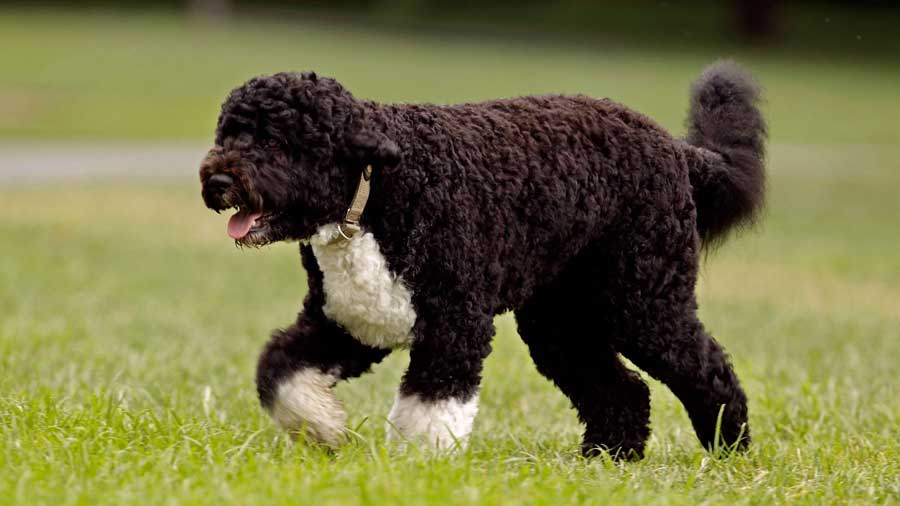 How to Train a Portugese Water Dog