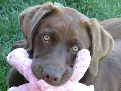 chewing-chocolate-lab