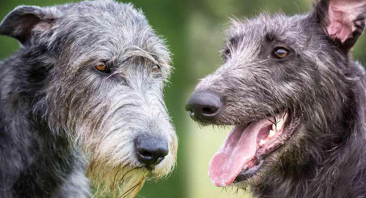 How to Train a Scottish Deerhound