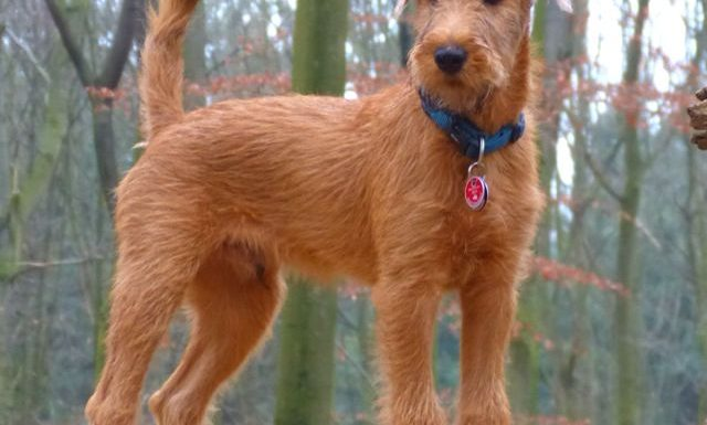 How to Train an Irish Terrier