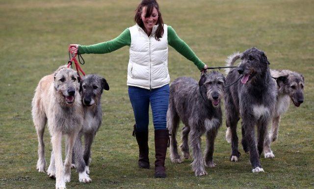 How to Train an Irish Wolfhound