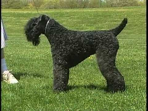 How to Train a Kerry Blue Terrier