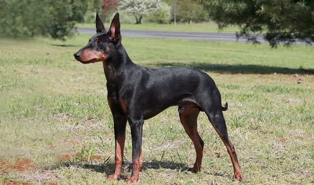 How to Train a Manchester Terrier