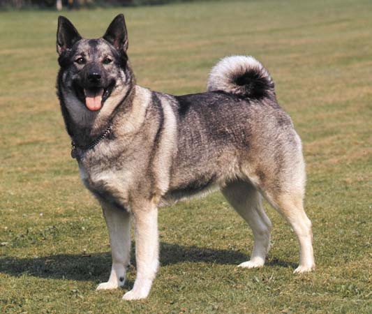 How to Train a Norwegian Elkhound