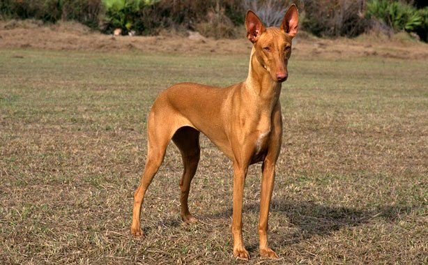 How to Train a Pharaoh Hound