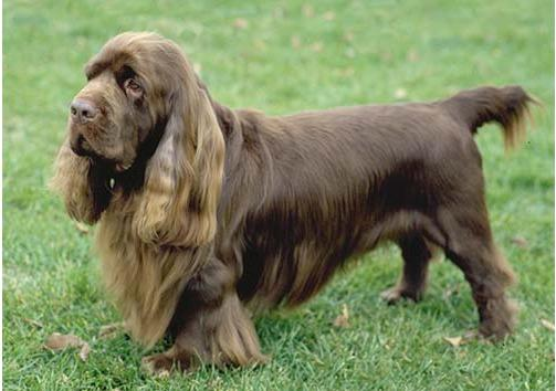 How to Train a Sussex Spaniel