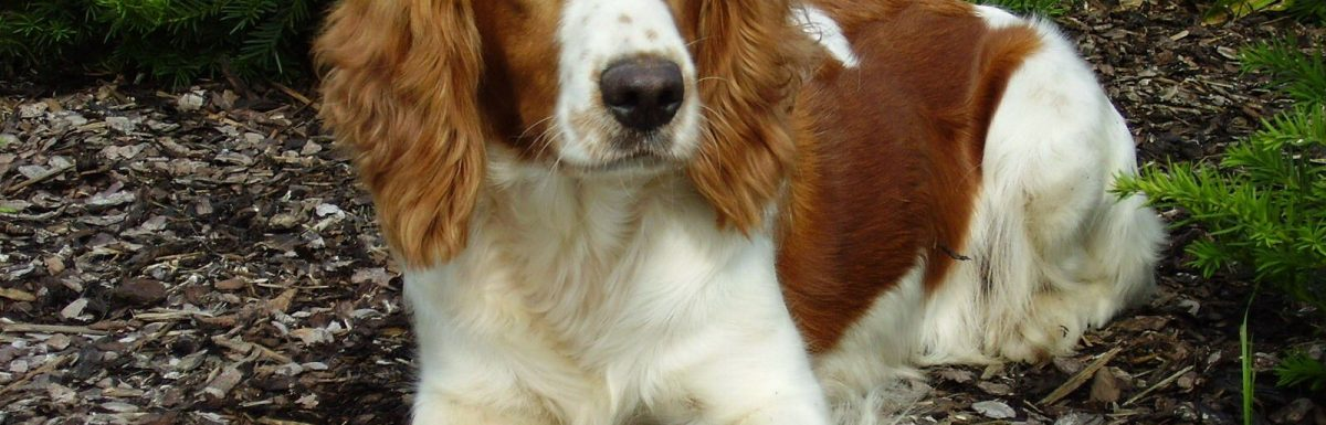 How to Train a Welsh Springer Spaniel