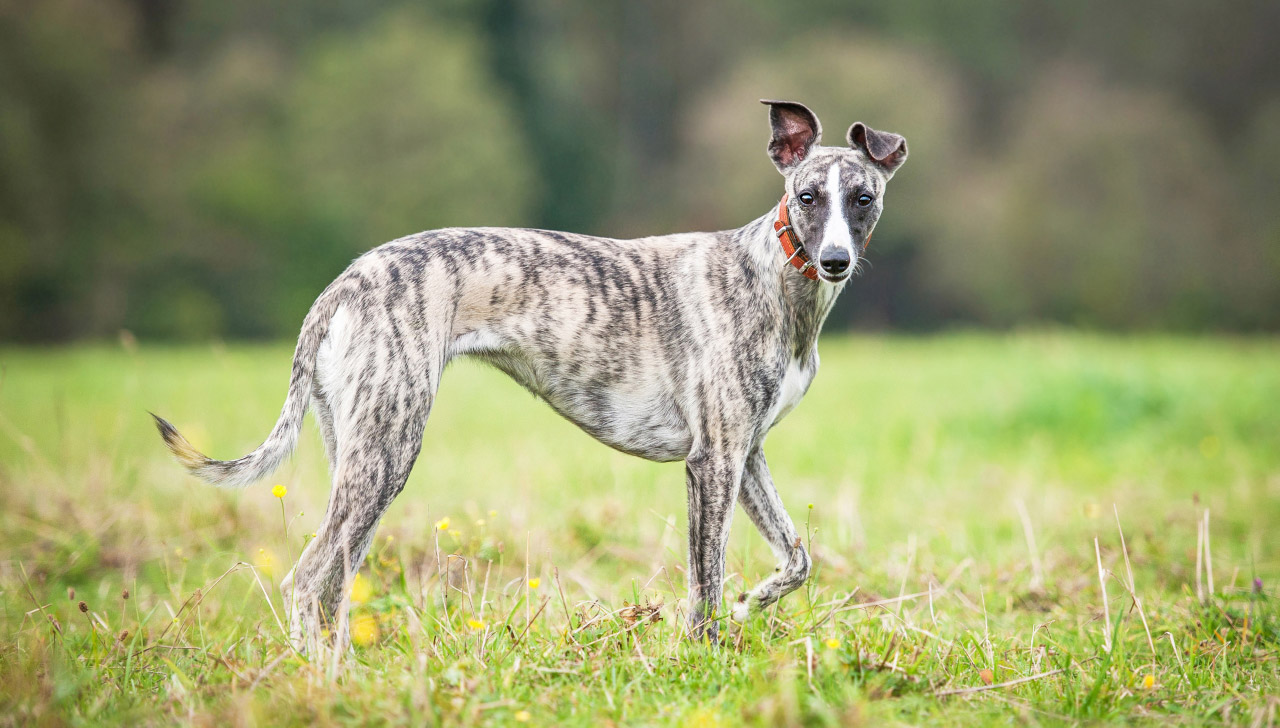 How to Train a Whippet