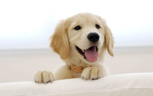 golden-puppy-