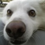 american_eskimo_dog_training-150x150
