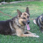 german_shepherd_dog_training-150x150