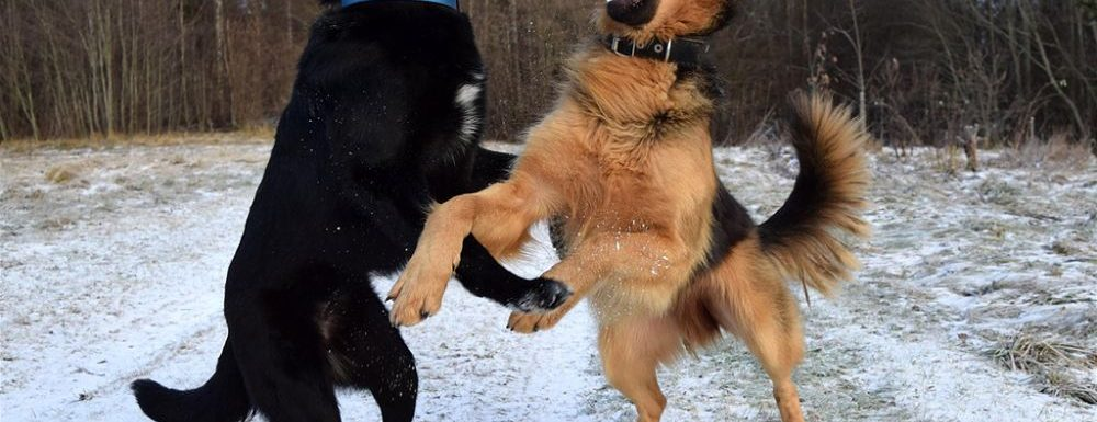 Why Are Dogs in Latin America Less Aggressive Than Dogs in the United States?